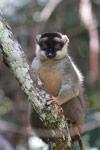 Common Brown Lemur (Eulemur fulvus) [madagascar_1266]