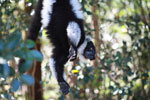 Black-and-white Ruffed Lemur hanging in a tree [madagascar_1341]