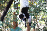 Black-and-white Ruffed Lemur hanging in a tree [madagascar_1344]