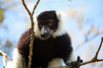 Black-and-white Ruffed Lemur hanging in a tree [madagascar_1367]