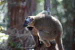 Common Brown Lemur (Eulemur fulvus) [madagascar_1412]