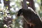 Common Brown Lemur (Eulemur fulvus) [madagascar_1413]