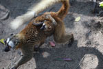 Female Common Brown Lemur (Eulemur fulvus) with baby