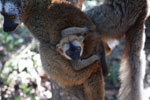 Baby brown lemur [madagascar_1451]