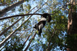 Black-and-white Ruffed Lemur hanging in a tree [madagascar_1454]