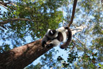 Black-and-white Ruffed Lemur hanging in a tree [madagascar_1463]