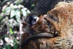 Baby brown lemur [madagascar_1470]