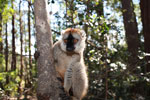 Female Common Brown Lemur (Eulemur fulvus) [madagascar_1472]
