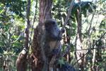 Gray Bamboo Lemur (Hapalemur griseus) [madagascar_1484]