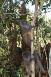 Eastern Lesser Bamboo Lemur (Hapalemur griseus) [madagascar_1512]