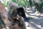 Male Common Brown Lemur (Eulemur fulvus) [madagascar_1520]