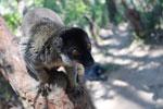 Male Common Brown Lemur (Eulemur fulvus) [madagascar_1522]