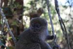 Eastern Lesser Bamboo Lemur (Hapalemur griseus) [madagascar_1530]