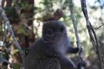 Eastern Lesser Bamboo Lemur (Hapalemur griseus) [madagascar_1531]