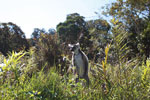 Ring-tailed lemur on patrol