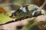 Male Elephant-eared Chameleon (Calumna brevicorne) [madagascar_1576]