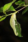 Perinet Chameleon (Calumma gastrotaenia) [madagascar_1620]