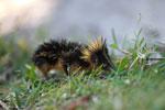 Lowland Streaked Tenrec (Hemicentetes semispinosus) [madagascar_1803]