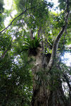 Birdnest fern and rainforest canopy on Nosy Mangabe
