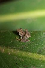 Frog [madagascar_1896]
