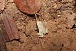 Frog [madagascar_1904]