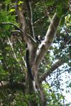 Black-and-white Ruffed Lemur (Varecia variegata) [madagascar_1927]