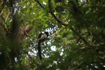 Black-and-white Ruffed Lemur (Varecia variegata) [madagascar_1935]