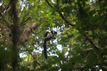 Black-and-white Ruffed Lemur (Varecia variegata) [madagascar_1937]