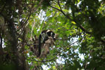 Black-and-white Ruffed Lemur (Varecia variegata) [madagascar_1940]