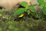 Green-backed mantella frog (Mantella laevigata) [madagascar_1967]