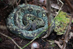 Turquoise Madagascar tree boa (Boa manditra)