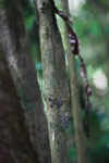 Giant Leaf-tail Gecko (Uroplatus fimbriatus) [madagascar_2042]