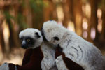 Coquerel's sifakas grooming [madagascar_2318]
