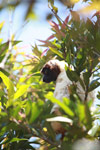 Crowned Sifaka (Propithecus coronatus) [madagascar_2338]