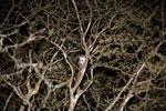 Gray Mouse Lemur (Microcebus murinus) [madagascar_2461]