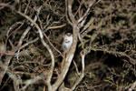 Gray Mouse Lemur (Microcebus murinus) [madagascar_2467]