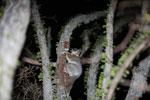 White-footed Sportive Lemur (Lepilemur leucopus) in a spiny Alluaudia procera plant [madagascar_2487]