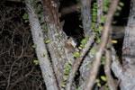 White-footed Sportive Lemur (Lepilemur leucopus) in a spiny Alluaudia procera plant [madagascar_2491]