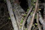White-footed Sportive Lemur (Lepilemur leucopus) in a spiny Alluaudia procera plant [madagascar_2500]