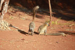 Red-fronted brown lemurs (Eulemur rufus) [madagascar_2520]