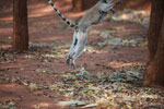 Leaping ring-tailed lemur with a baby on her chest