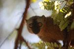 Red-fronted brown lemur (Eulemur rufus) [madagascar_2547]