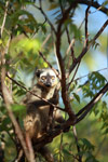 Red-fronted brown lemur (Eulemur rufus) [madagascar_2554]