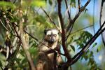 Red-fronted brown lemur (Eulemur rufus) [madagascar_2556]
