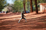 Verreaux's Sifaka dancing while making a vulgar hand signal