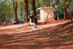 Verreaux's Sifaka dancing [madagascar_2657]