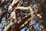 White-footed Weasel Lemur (Lepilemur leucopus) in a spiny Alluaudia procera plant [madagascar_2695]