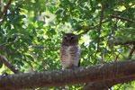 White-browed Owl (Ninox superciliaris) [madagascar_2722]