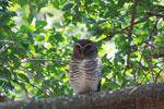 White-browed Owl (Ninox superciliaris) [madagascar_2723]