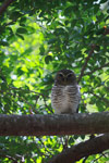 White-browed Owl (Ninox superciliaris) [madagascar_2725]